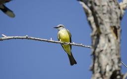 热带必胜鸟, Sweetwater沼泽地在图森亚利桑那美国 库存照片