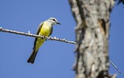 热带必胜鸟, Sweetwater沼泽地在图森亚利桑那美国 免版税库存照片