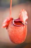 热带投手或猴子杯子植物 免版税图库摄影