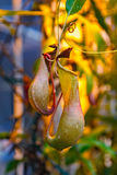 热带捕虫草或猴子杯子 图库摄影