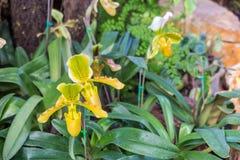 热带捕虫草,猴子杯子在庭院里 免版税库存照片