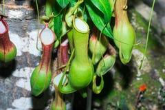 热带捕蝇器捕虫草,猪笼草种类 库存照片