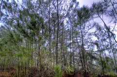 热带杉木 免版税图库摄影