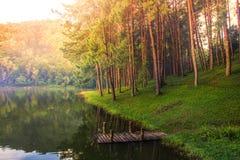热带杉树森林场面自然背景 免版税库存照片