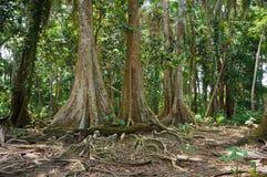热带树在哥斯达黎加的密林 免版税库存图片
