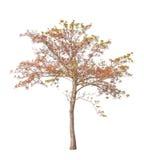 热带树在泰国在白色隔绝了 免版税图库摄影