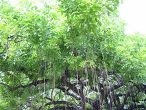 热带树在迈阿密,佛罗里达 免版税库存照片