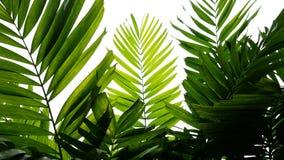热带棕榈叶自然样式,白色背景的常绿植物 库存照片