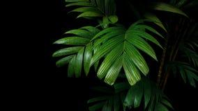 热带棕榈叶,雨林叶子在黑ba的植物树 免版税库存照片