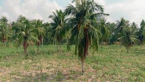 热带棕榈用黄色成熟椰子在领域增长 股票录像