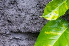 热带植物新鲜的叶子在灰色墙壁上的 免版税图库摄影