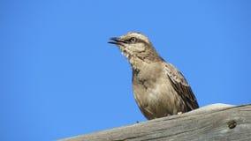 热带模仿鸟坐树干 库存图片