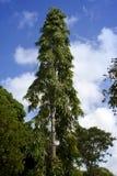 热带气候的结构树 毛里求斯 免版税图库摄影
