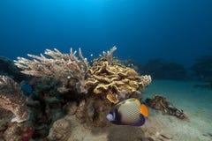 热带水下的寿命在红海。 库存图片