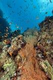 热带水下的寿命在红海。 免版税库存照片