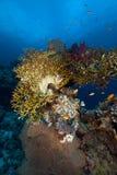 热带水下的寿命在红海。 免版税库存图片