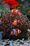 热带海小丑鱼 免版税图库摄影