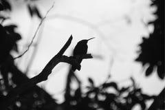 热带海岛瓜德罗普黑白蜂鸟  库存照片