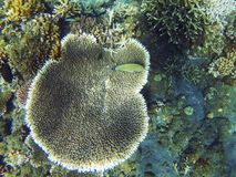 热带海滨水下的风景 珊瑚礁和黄色矛状棘鱼 库存照片