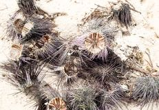 热带海胆Echinoidea多刺的锋利的长的针烘干开放壳爱抚小组水生动物纤巧 库存图片