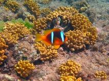 热带海水下的生活  免版税库存图片