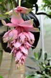 热带淡粉红的花 免版税库存照片