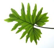 热带爱树木的人叶子孤立 免版税库存照片