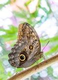热带猫头鹰蝴蝶 库存图片