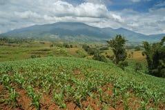 热带玉米田的小山顶 库存照片