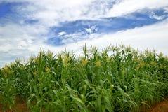 热带玉米的农场 免版税库存照片