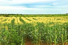 热带玉米的农场 免版税库存图片
