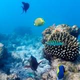 热带珊瑚礁,马尔代夫生态系  免版税图库摄影