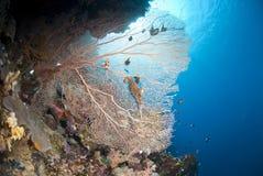 热带珊瑚风扇礁石的场面 库存图片