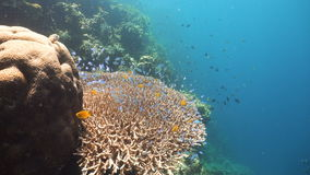 热带珊瑚鱼的礁石 菲律宾 股票录像