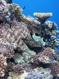 热带珊瑚鱼的礁石 免版税图库摄影