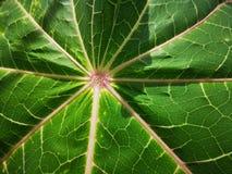 热带番木瓜绿色leeves,自然夏天森林植物 明亮,背景 免版税库存图片