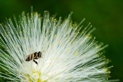 热带白色粉扑花,豆科植物类 库存图片