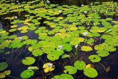 热带百合的池塘 库存图片
