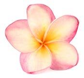 热带的杏仁奶油饼 库存图片