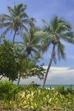 热带的棕榈树 库存照片