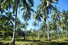 热带的横向 椰子树农场  库存图片