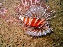 热带的蓑鱼 免版税库存图片