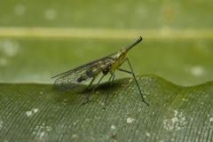 热带的蚊子 免版税库存照片