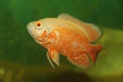 热带的鱼 免版税库存照片