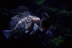 热带的鱼 库存图片