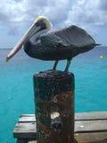 热带的鹈鹕 免版税库存照片