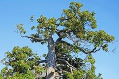 热带的结构树 图库摄影