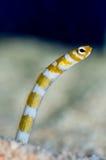 热带的snakefish 免版税图库摄影