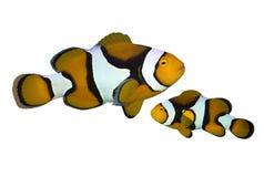热带礁石鱼双锯鱼 库存照片