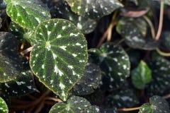 热带秋海棠Pustulata植物叶子 免版税库存照片